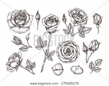Hand Drawn Roses. Sketch Rose Flowers With Thorns And Leaves. Black And White Vintage Etching Vector