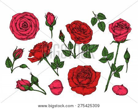 Red Rose. Hand Drawn Roses Garden Flowers With Green Leaves, Buds And Thorns. Cartoon Vector Isolate