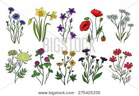 Wild Herbs And Flowers. Wildflowers, Meadow Plants. Hand Drawn Summer And Spring Field Flowering. Vi