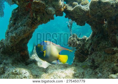 Queen Angelfish Through Coral Arch On Looe Key Coral Reef In The Florida Keys
