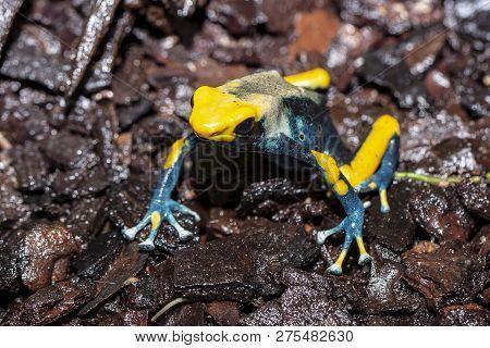 A Blue Yellow Deying Poison Dart Frog,tinctorius Tumucumaque Kaw Morph. A Beautiful Small Exotic Ani