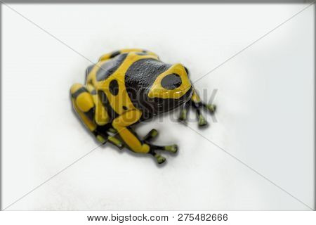 The Bumble Bee Poison Dart Frog Dendrobates Leucomelas Derives The Infamous Venomous Skin Secretions