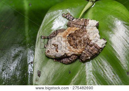 Asian Bird Poop Frog, Theloderma Asperum On A Leaf