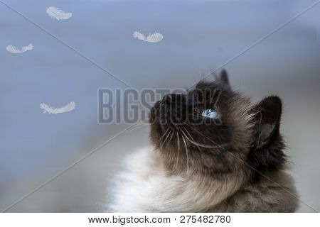A Seal Point Birman Cat Looking Up At Feathers