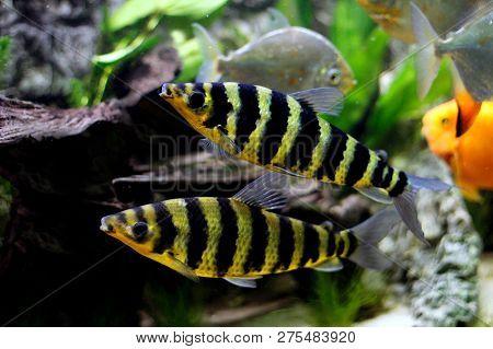 2 Banded Leporinus (leporinus Fasciatus), Also Known As The Black-banded Leporinus.