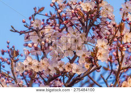 Sakura Flower Or Cherry Blossom With Beautiful Nature Background.cherry Blossom, Cherry Sakura Bloss