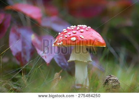 Red Fly Agaric Mushroom Or Toadstool In The Grass. Fairy Tale Colourful Image. Toxic Mushroom. White