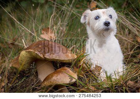 Pason russel terrier sitting with a big boletus edulis, mushroom,toadstool poster