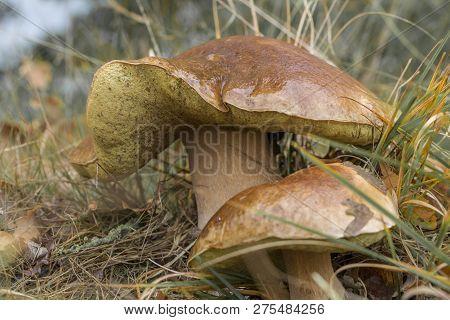 Boletus Edulis, penny bun or porcino is wild edible mushroom. Bunch of home picked wild Boletus Edulis mushroom fungus on lawn grass meadow. poster