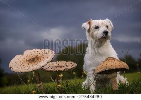 Dog Breed Parson Russell Terrier Sitting With Toadstools In The Grass.