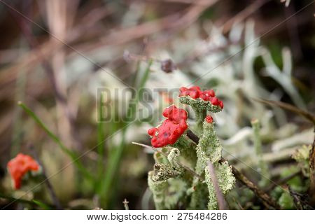 Cladonia (cup Lichen) Is A Genus Of Moss-like Lichens