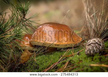 Mushrooms Toadstools. Bright Small Poisonous Mushrooms Toadstool Group Psilocybin,paddestoel
