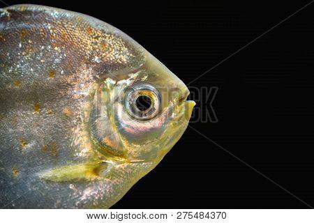 Redhook Myleus (myloplus Rubripinnis), Also Known As The Redhook Silver Dollar. Wildlife Animal.