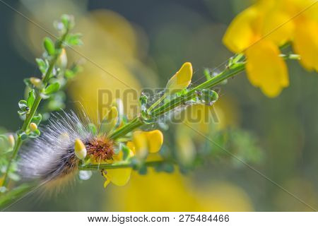 Tuin Beer (arctia Caja) Caterpillar On Yellow Flowers
