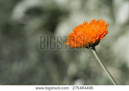 Beautiful Gerbera Flower Orange With Green Background