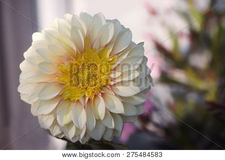Beautiful White Dahlia Dahlia . Dahlia Flower. Close-up Of A White  Dahlia (asteraceae) View To Bloo