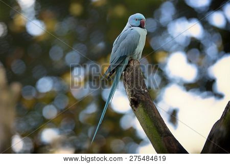 Beautiful Tropical Blue Collar Parakeet In Nature