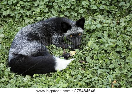 Silver Fox (vulpes Vulpes) Walks Towards Rock On   Island - Captive Animal