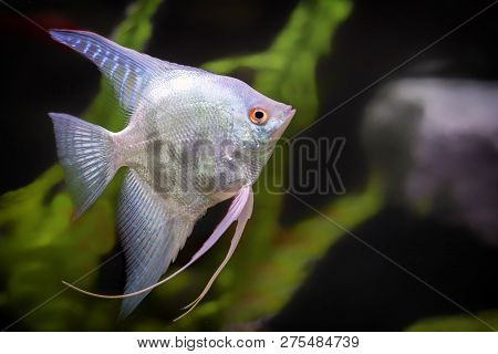 Freshwater Angelfish Or Scale Angelfish That Has A Black White