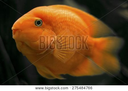 The Face Of Blood Red Parrot Cichlid Or Parrot Cichlid. Colorful Red Parrot Cichlid In Aquarium Plan