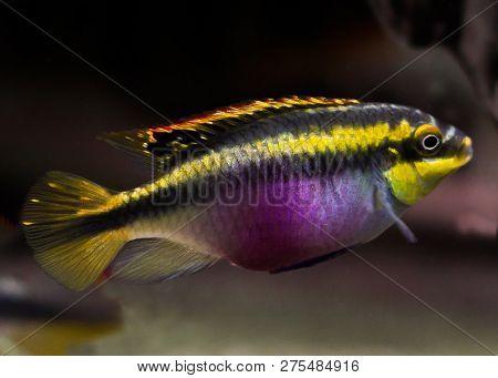Aquarium Fish Isolated White Pelvicachromis Pulcher Kribensis Cichlid Krib