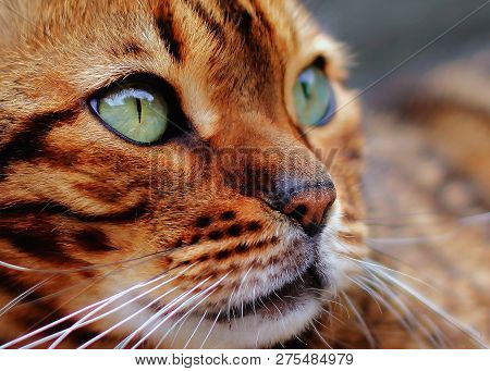 Cute Bengal Cat With Nice Brown Colors