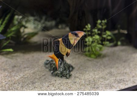 Clown Loach Chromobotia Macracanthus Swimming In The Water