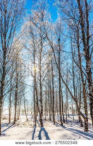 Dull polar winter sun. Sunset. Long shadows on the snow. The concept of extreme and ecotourism.  The snow-covered aspen grove
