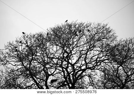 Silhouette Of Crows Roosting In Tree With The Remnants Of The Previous Season Nests In The Rural Cou