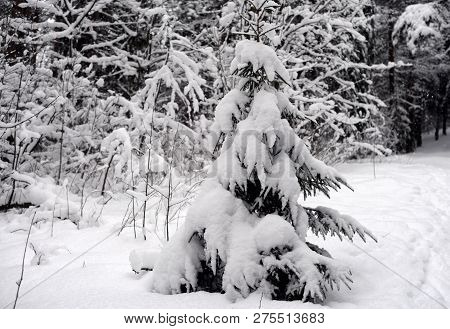 Spruce Tree Covered With Snow In Karelian Isthmus, Russia.