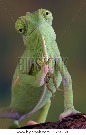 A veiled chameleon is holding a frog. poster