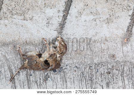 Dead Rat On The Concrete Road Close Up.
