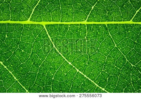 Detail Of A Fresh Green Leaf Close Up Background.