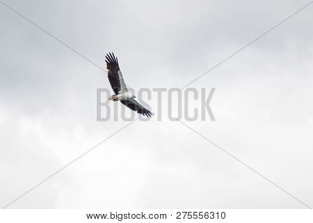 Flying Wild Hawk In The Air Close Up.