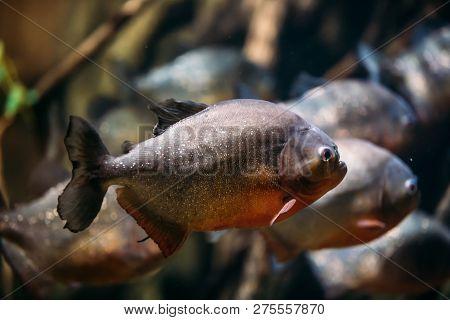 Red-bellied Piranha Or Red Piranha Fish Pygocentrus Nattereri Swimming In Water. Popular Aquarium Fi