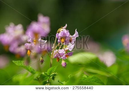 Close Flowering Blooming Vernal Sprouts Of Potato Plant Or Solanum Tuberosum Growing On Plantation I