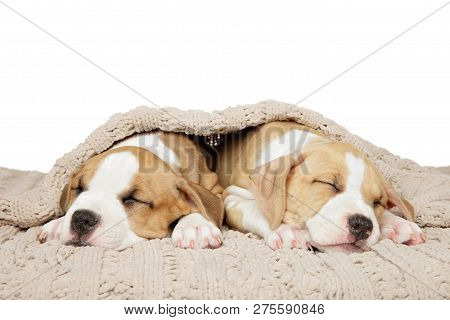 American Staffordshire Terrier Puppies Sweetly Sleep Under A Blanket On A White Background. Baby Ani