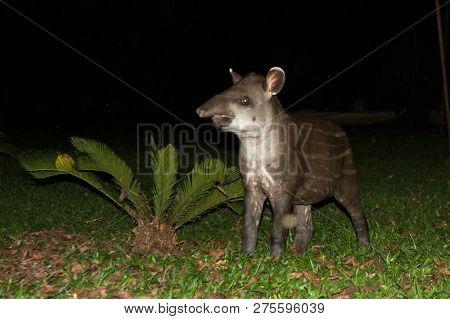 South American Tapir (tapirus Terrestris) In Natural Habitat During Night, Cute Baby Animal With Str