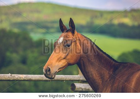 Beautiful Mare Of Reddish Colored Akhal Teke Horse Breed From Turkmenistan, White Star On Head And S