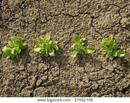 lettuce seedlings growing on the vegetable bed