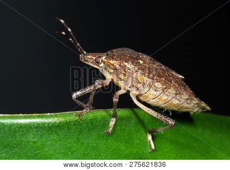 Macro Photography Of Shield Bug On The Edge Of The Leaf
