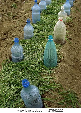 vegetable bed with plastic bottles as small hotbeds and grass mulch scattered between them for keeping water and improving soil