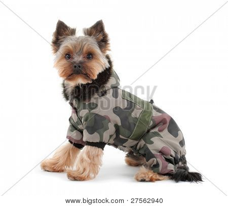 Portrait of a yorkshire terrier with green camo jacket and hood on white background