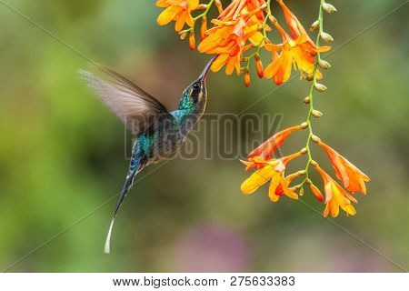 Green Hermit, Hovering Next To Orange Flower, Bird From Mountain Tropical Forest, Costa Rica, Beauti