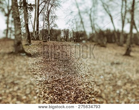 Fallen Leaf In The Autumn Forest. Forest With Bare Trees And Dry Fallen Orange Autumn Leaves. Autumn