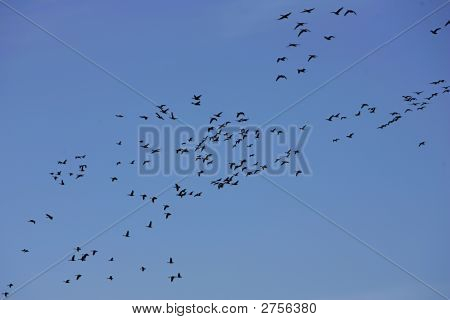 a flock of geese flying in the sky migrating back from Canada poster