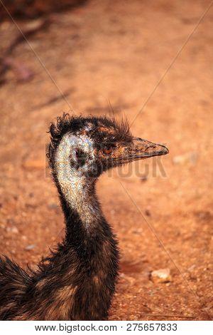 Emu Dromaius Novaehollandiae  Bird Rests In The Dirt In Australia,