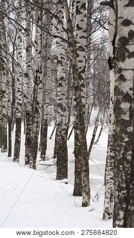 Trunks Of Birch Trees At Winter, Russia.
