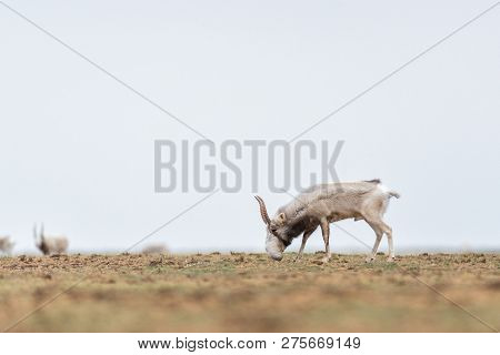 The Appearance Of A Powerful Male During The Rut. Saiga Tatarica Is Listed In The Red Book, Chyornye
