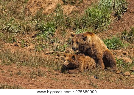 A Couple Of Brown Bears Copulating In The Breeding Season.